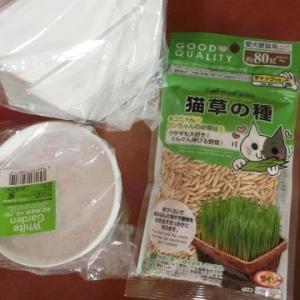 ダイソー(100円ショップ)で見つけた猫草の種を蒔く/カンナ(白)開花/簡単オクラのめんつゆ漬け