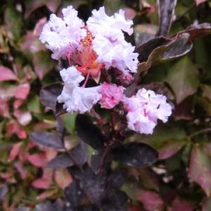 銅葉サルスベリの花、レッドのはずが…/遅ればせながらリハビリ散歩