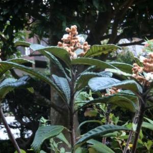 ビワの花が咲き始めた/レンコンと椎茸の甘辛酢炒め/新しい生活リズム