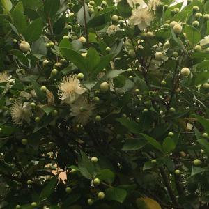 「ギンバイカ」の花が満開の時期!!ハーゲンダッツ桃を食べてました。