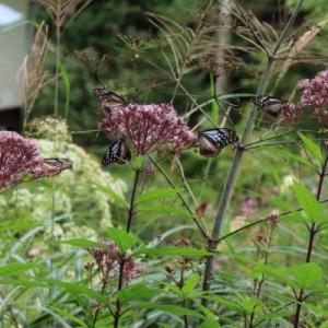 渡り蝶、アサギマダラ