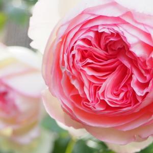 大阪開催♡才能開花と豊かな人生のためのローズヒーリング講座(バラの魔法講座)