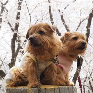 同じ桜で!!