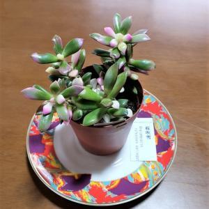 桜吹雪という名の多肉植物