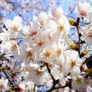 桐生市役所の桜