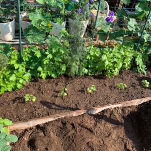 6.8.2021 自家製オクラ苗を植えました