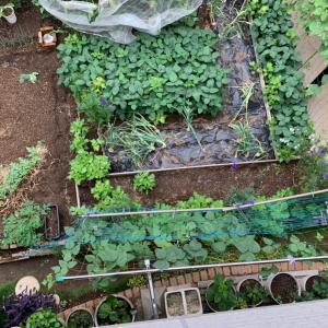 6.7.2021 今日の庭&収穫