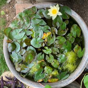 6.11.2021 姫睡蓮の花が咲きました