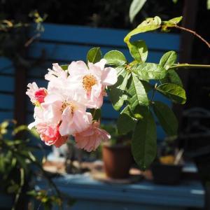 楽しい作業、球根と種を植えました^^ コーネリアとプリンセス・シャルレーヌ・ドゥ・モナコ