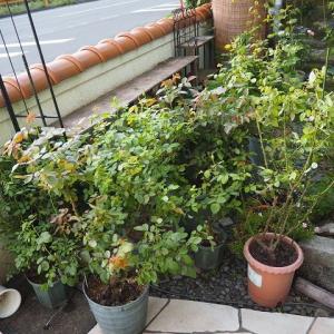 台風の被害がこれ以上広がりませんように! 胃腸炎で寝込んでいました 咲いた薔薇たちと、植えた球根と種