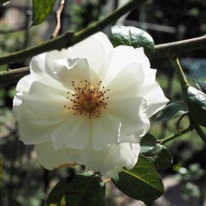 胃痛の原因がはっきり分かった! イヴ様とトルコのボウル 咲き始めた秋薔薇