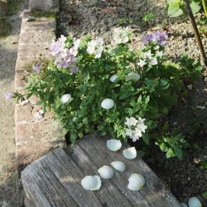 冷ややかな対応に感じられた バーベナに降るイングリッシュローズの花びら 発見ガブリエル好きなミツバチ