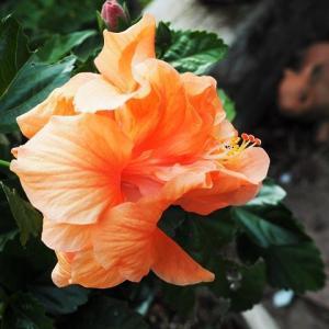 二色咲きのハイビスカスとうらら アーチに赤いイングリッシュを育成中