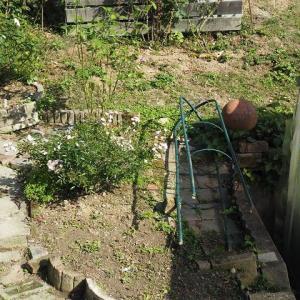 冬に作り直す花壇の整備をしています 鉢植え薔薇を地植えに 今年も来てくれた~^^