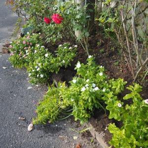 花壇がぐちゃぐちゃに荒らされていた(T_T) アスペリッド・ストライプド ローラン・カブロル