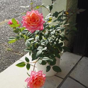 ロザリアンの思いが報われる時ですね^^ 今朝の玄関 液肥をあげるとミニ薔薇も豪華に咲きます