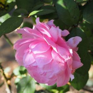 地植えにしたら横向きに咲いたザ・リーヴ 薔薇ってやっぱり素晴らしい~^^ ピンク・イヴ・ピアッチの変身