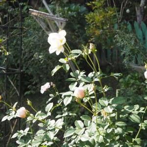 薔薇を植え込んだ新しい花壇 ザ・シェパーデス 紫の園