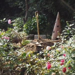 凄い強風で、薔薇鉢がバッタバタ倒れていた@@ やっぱり河本ローズが好き、シャルムとブルームーンストーン