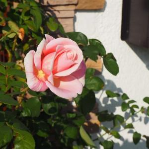 ビェ・ドゥーが晩秋に初開花 ビオラを飾って^^ 今季号は興味深い記事が満載New Roses