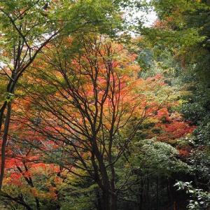 紅葉の京都西山 薔薇鉢の土替えを始めました