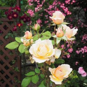 薔薇との出会い、そしてファーストローズ
