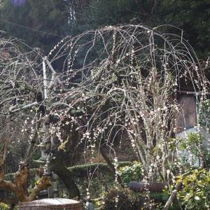 しだれ梅が一気に満開に 薔薇でフランス、イギリス、日本の共演