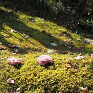 散って行く花、新たに咲く花 薔薇ちゃまの蕾が分かるように^^ 豪華なラナンキュラス