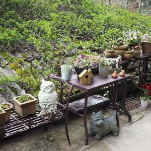 なんとも切ない話 鉢置きコーナーのお花たち 初めての開花ベロニカ・ゲンチアノデス「リトルブルース」