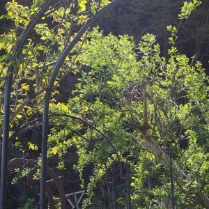 三人でガーデニング三昧 可哀想なホスタの芽 綺麗なリーフ、セアノサスとさび柄ぺラルゴニウム