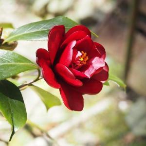 挿し木や挿し芽に嵌っています ついに緊急事態宣言! 河原の桜