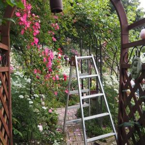 梅雨前の薔薇ちゃまのお世話を始めました バレリーナ、安曇野、一重の可愛いお花♡