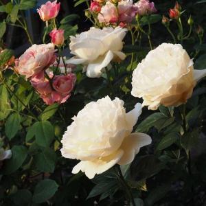 花ガラ切りに大忙し ライトに咲いたシーザー ガンシュだけれど綺麗なレイニーブルー