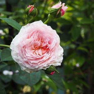 好きですね~ジェイムズ・ゴールウェイ クレマチスの花壇を延長 白×水色のミニ薔薇コーナー