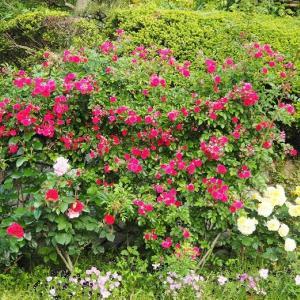 細枝のつる薔薇の花後の整理 キング 夢乙女 バレリーナ