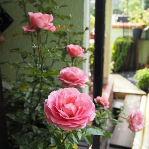 うどん粉、黒点に弱い薔薇の開花 紫陽花のドラマティック咲き