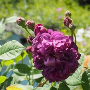 陰ろう薔薇が素敵です 梅みつじゅーす^^