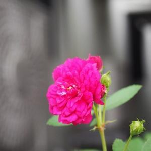 重い空気に浮かぶ薔薇 ザ・ミル・オン・ザ・フロスとみさき