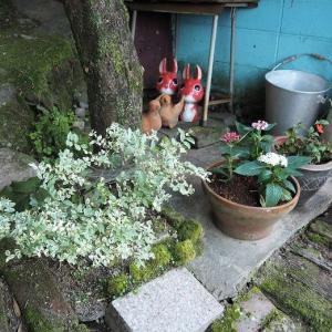 夫を見たら嫌な汗が。。。。 ペンタスを植えました ロジェ・ランブランの波打つ花びら♡