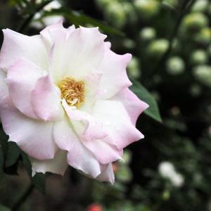 テッポウムシ退治が年々上手になっていく 白桃みたいなホリデー・アイランド・ピオニーと、可愛らしい丸さのチーク