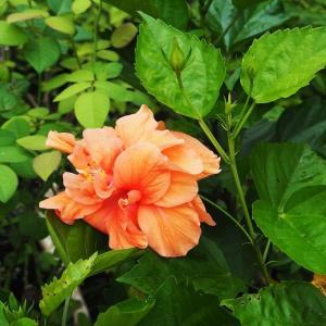 薔薇の虫が活躍中! 真夏でも女優顔のナエマ 夫が競り落としたロイヤル・サンセット