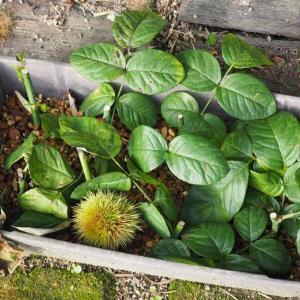 春にお迎えした新苗、挿し木成功株、クリスマスローズのチビ苗の鉢増し