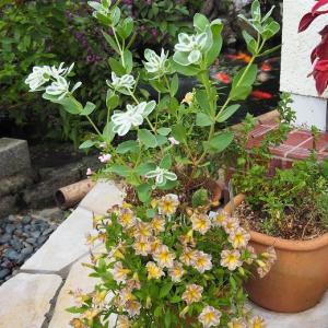 モリモリに咲いた、とらネコさん♡ ピンクとオレンジのミニ薔薇さん♡
