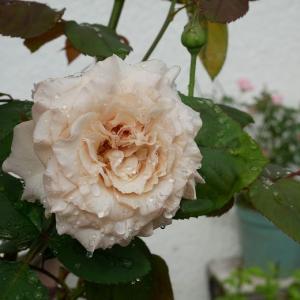 甘々に可愛い薔薇は、お孫ちゃまの薔薇よ^^ 彼岸花のブーケ♡