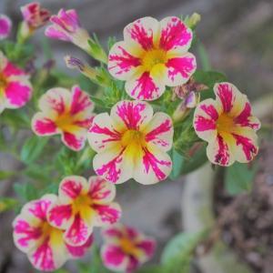 緑と紫の葉が綺麗な、ニンジンボク・プルプレア お花の植え替え パット・オースチン ひより