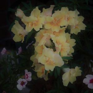 秋の薔薇は夕暮れ時に見つけるのが素敵 挿し木成功のシトラス・マーブルと、ペチュニア