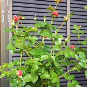 一目惚れのポットで可愛い寄せ植え作り♡ パウル・クレー最高な色 私流の古土再生方