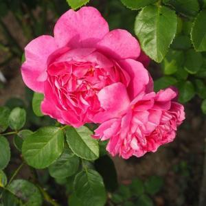 種蒔き、球根の植え付けが楽しい季節♡ プリンセス・アンとザ・シェパーデス かっこいい白万重