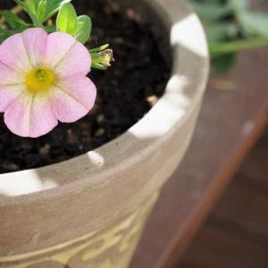 ブロドリーが咲いて、河本ローズ色々咲いています♡ 盛り上がってるミニ薔薇ちゃん達♡