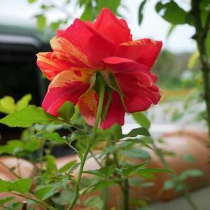 オレ様夫が薔薇をお迎え~♡ 初期に見つけたいうどん粉病 濃淡が綺麗なブロドリー